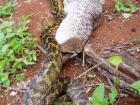 蛇吞跳鼠 9