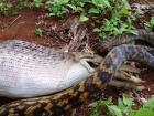 蛇吞跳鼠 10