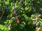 居家附近點點滴滴 121黃杏(2016.7.18)